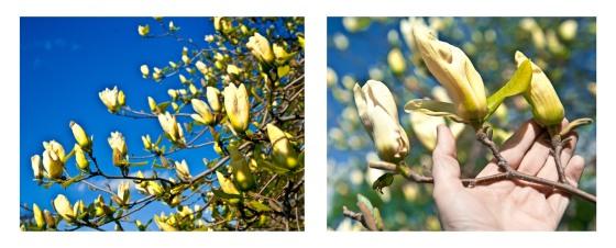magnoliabuds
