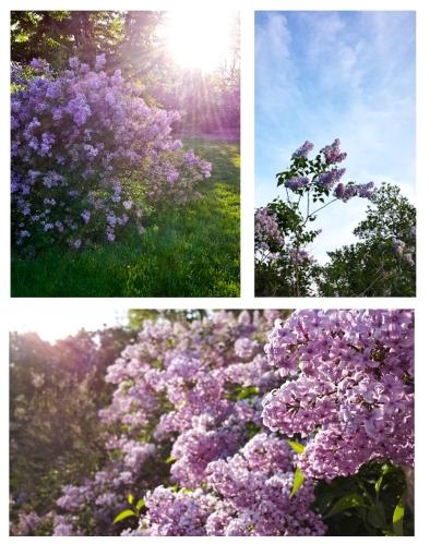 lilacthrees-2